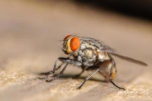 mosca doméstica comum