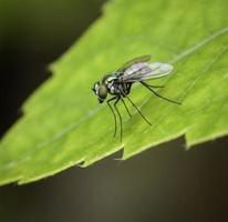 mosca de color iridiscente en hoja verde