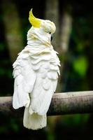 Sulphur crested cockatoo perched on a fence