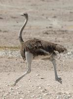 Ostrich running on rocky field