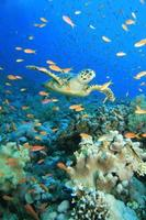 Turtle in cloud of anthias photo