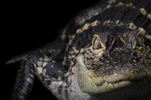 cocodrilo americano foto