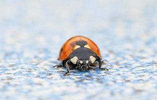 Coccinella quinquepunctata (ladybug)