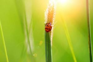 Ladybug on grass after sun exposure.