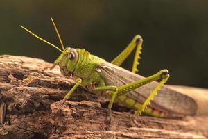 Giant Grasshopper photo