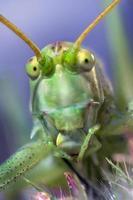 Retrato de cricket en fondo coloreado