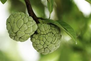 Custard apple fruit on tree.