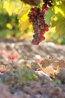 Blue grapes on vine