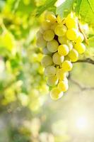 Green grapes on vine photo