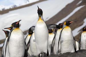 Looking up at a king penguin in Antarctica