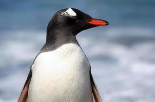 perfil de pingüino gentoo foto