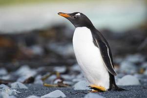 Gentoo Pinguin (Pygoscelis papua) running on a rocky beach