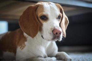 Beagle dog lying under table photo