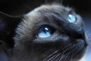 Siamese Cat photo