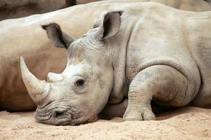 portrait of white rhino photo