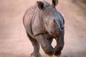 cargando bebé rinoceronte blanco foto