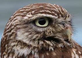 Little Owl photo