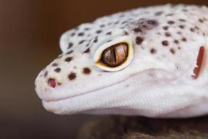 lagartixa leopardo