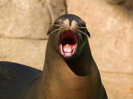 leão-marinho chorando
