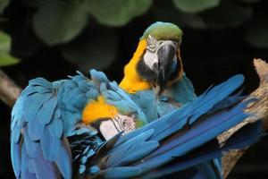 papagaios preening
