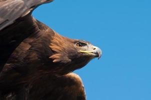 Golden Eagle (Aquila chrysaetos) photo