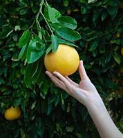 mujer sosteniendo pomelo maduro foto