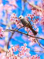 pájaro bulbul de cabeza blanca en la ramita de sakura foto