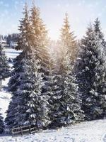 Fir trees photo