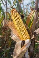 Corn on the stalk photo
