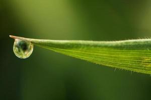 grama de orvalho