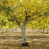 English walnut orchard fall