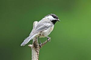 Chickadee in Summer