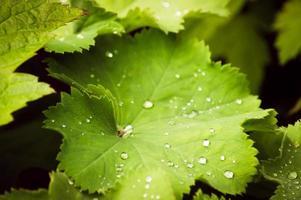 gouttes d'eau sur la feuille verte