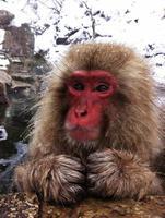 mono de nieve relajante en una fuente termal foto