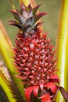 Red pineapple, farming, growing, Mayotte / Ananas sauvage rouge