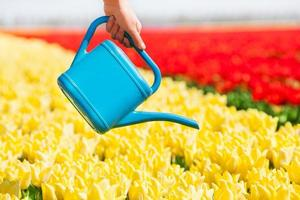 Hand holds watering pot and tulip field rows