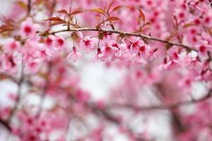 Lao sakura in winter season photo