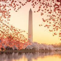 le mémorial de jefferson pendant le festival des cerisiers en fleurs
