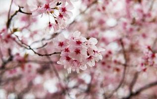 flor de cerezo en un día lluvioso foto