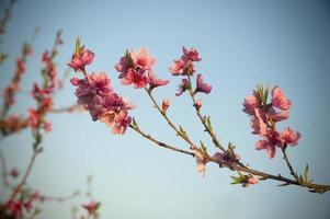 flor de melocotón foto