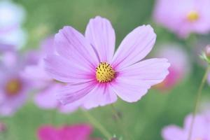 Pink Cosmos vintage style photo