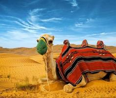 Tourist camel on sand dunes
