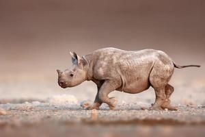 Black Rhinoceros baby running photo