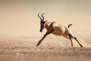 Red hartebeest running