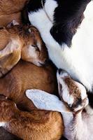 baby goat sleep in the farm