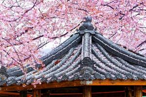 Beautiful Sakura flowers and pavilion in Busan, South Korea
