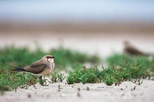 Collared pratincole in plants