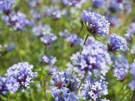 floración asperula violeta.