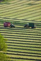 Tractors and trailers cutting silage in field photo
