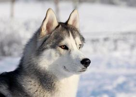 Husky dog in a snow covered winter landscape photo